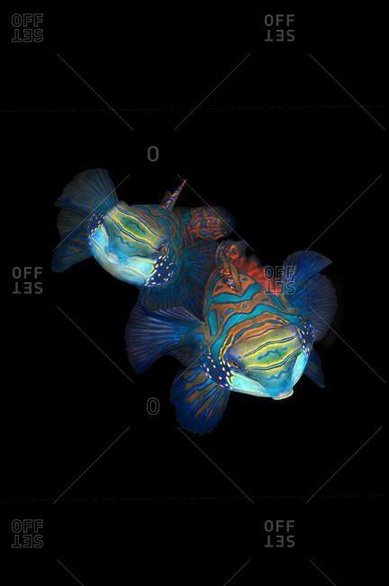 Mandarinfish (Synchiropus splendidus), courtship, Bohol Sea, Cebu, Philippines, Asia