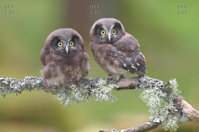 Boreal owls (Aegolius funereus), two fledglings sitting on a lichen-covered branch, North Rhine-Westphalia, Germany, Europe
