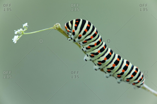 Caterpillar of an Old World Swallowtail butterfly (Papilio machaon), Ingolstadt, Upper Bavaria, Bavaria, Germany, Europe
