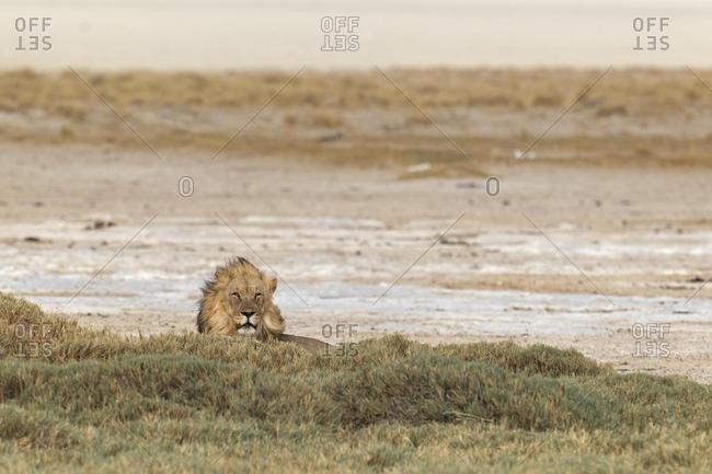 Lion (Panthera leo), lying behind bush, male, Etosha Salt Pan, Etosha National Park, Namibia, Africa