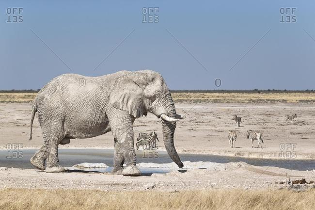 African Elephant (Loxodonta africana) bull in front of Newbroni waterhole, Etosha National Park, Namibia, Africa