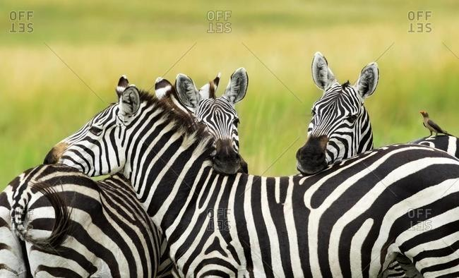 Three Plains Zebras (Equus quagga), oxpecker (Buphagus africanus) sitting on zebras back, Masai Mara, National park, Kenya, Africa