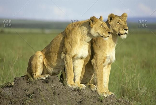 Two lionesses looking out for hunting on a little hill Masai Mara National Reserve Kenya