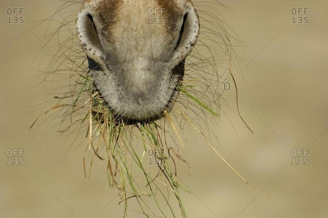 Mouth of a zebra grevyzebra with grass, detail