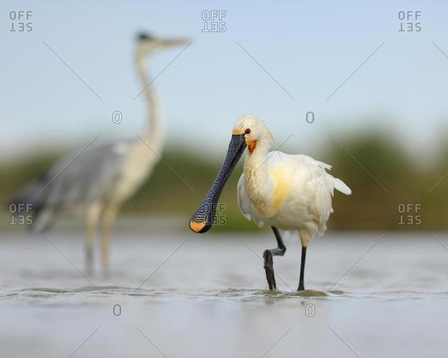 Eurasian Spoonbill or Common Spoonbill (Platalea leucorodia), encountering a Grey Heron (Ardea cinerea) in a fish pond, Kiskunsag National Park, Southeastern Hungary, Hungary, Europe
