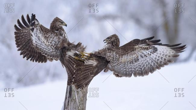 Common buzzards (Buteo buteo) fighting in the snow on an old wooden stake, Swabian Alb Biosphere Reserve, Baden-Wurttemberg, Germany, Europe