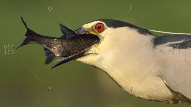 Black-crowned night heron (Nycticorax nycticorax), adult heron devouring its prey, Kiskunsag National Park, Hungary, Europe