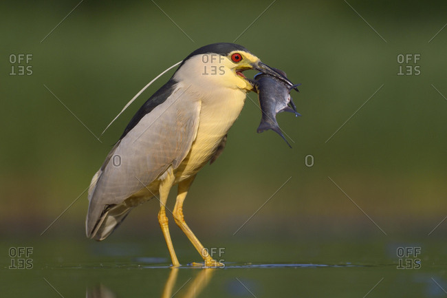 Black-crowned night heron (Nycticorax nycticorax), adult heron with prey, fish, Kiskunsag National Park, Hungary, Europe