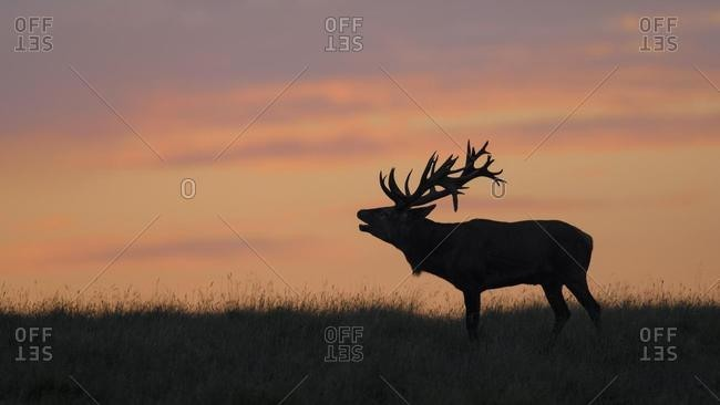 Red deer (Cervus elaphus), Royal Stag in last light, silhouette, red sky, sunset, Zealand, Denmark, Europe