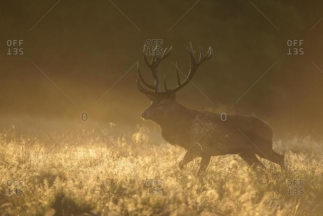 Red deer (Cervus elaphus), stag in first light, dewy meadow and fog, Zealand, Denmark, Europe
