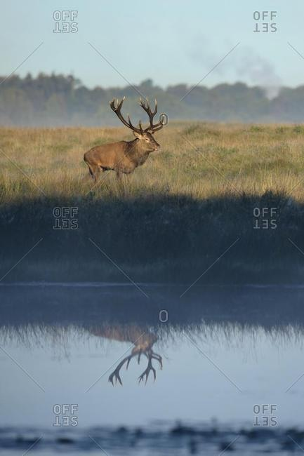Red deer (Cervus elaphus), reflection in lake, Zealand, Denmark, Europe