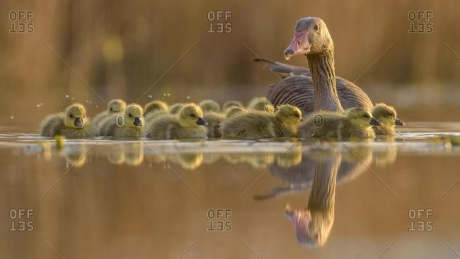 Greylag geese (Anser anser) with goslings, evening light, Kiskunsag National Park, Hungary, Europe