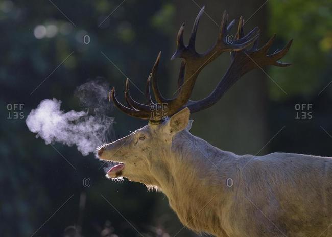 Red deer (Cervus elaphus), rutting stag, white morph, belling, backlit, breath condensation, Zealand, Denmark, Europe