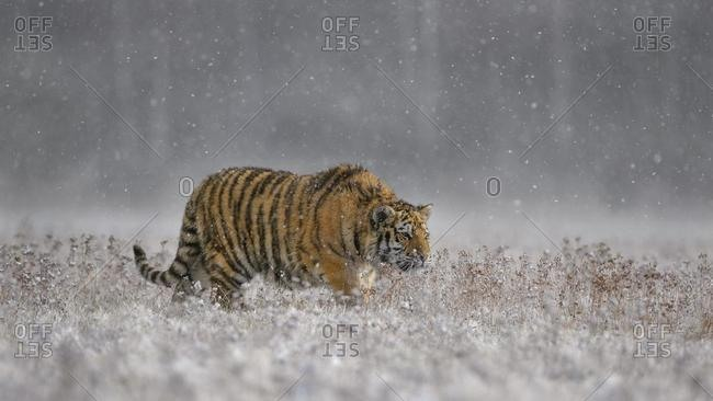 Siberian tiger (Panthera tigris altaica), captive, walking across a meadow in heavy snowfall, Moravia, Czech Republic, Europe