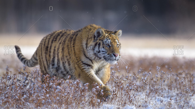 Siberian tiger (Panthera tigris altaica), captive, walking in a meadow, Moravia, Czech Republic, Europe