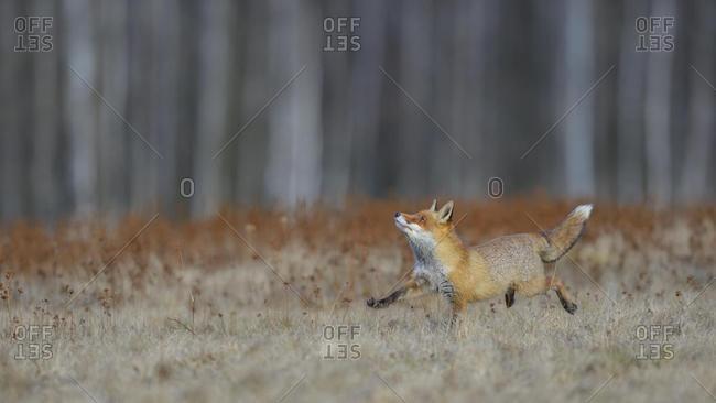 Red fox (vulpes vulpes), running across a meadow, Bohemian Forest, Czech Republic, Europe
