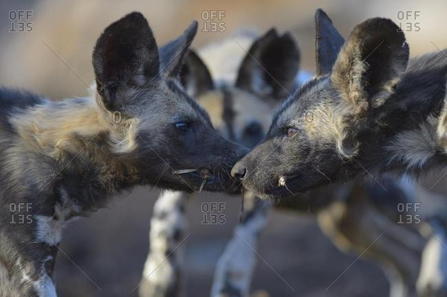 African wild dog (Lycaon pictus), playing puppies, Zimanga Game Reserve, KwaZulu-Natal, South Africa, Africa