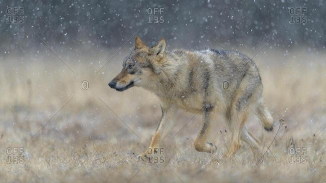 Gray wolf (Canis lupus), runs across a meadow in heavy snowfall, National Park Little Fatra, Slovakia, Europe