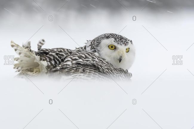 Snowy owl (Bubo scandiacus), sitting in the snow, snowstorm, captive, Sumava National Park, Bohemian Forest, Czech Republic, Europe