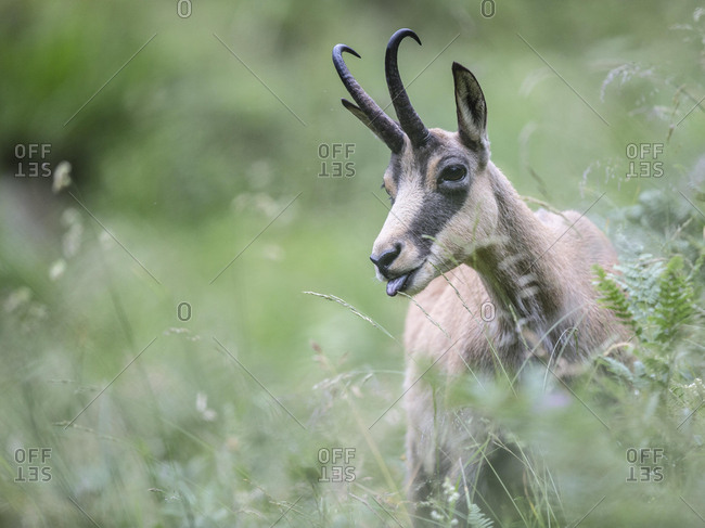 Chamois (Rupicapra rupicapra) stretching tongue out, Stubai Valley, Tyrol, Austria, Europe