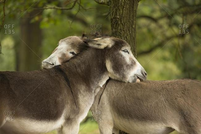 Donkey (Equus asinus asinus) nibbling each other, Wahner Heide nature reserve, North Rhine-Westphalia, Germany, Europe