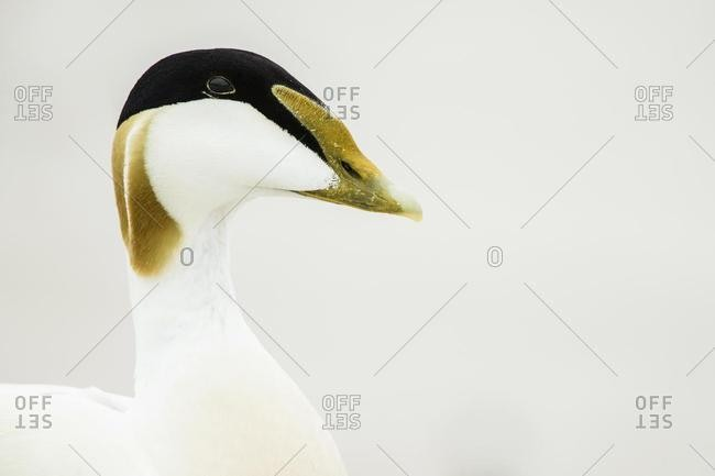 Common eider (Somateria mollissima), animal portrait, drake, Dune, Heligoland, Germany, Europe