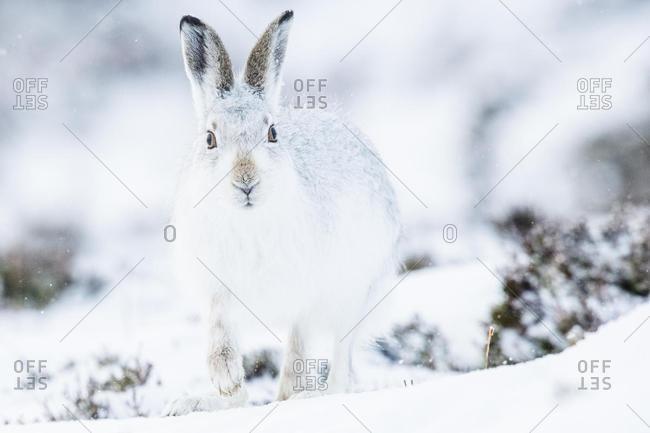 Mountain hare (Lepus timidus) sitting in snow, winter coat, Cairngroms National Park, Scottish Highlands, Scotland, United Kingdom, Europe