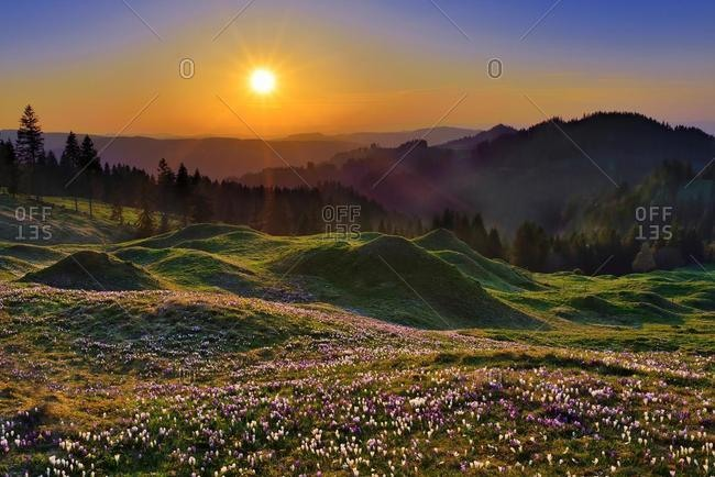 Sunset at Ramisgummen, meadow with flowering Crocuses (Crocus), view into Emmental, Canton Bern, Switzerland, Europe