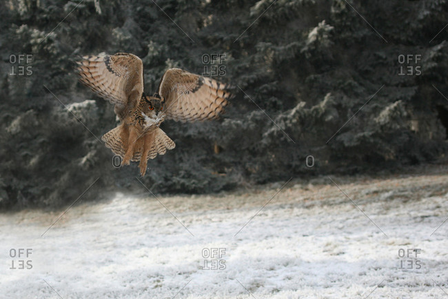Eurasian Eagle Owl (Bubo bubo), hunting flight, winter, snow