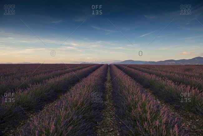 Lavender field in evening light, Plateau de Valensole in Valensole, Provence, Provence-Alpes-Cote d'Azur, France, Europe