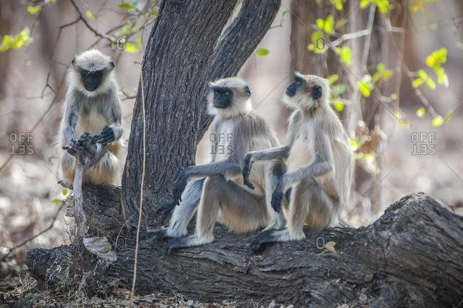 Northern plains gray langur (Semnopithecus entellus), Gir Forest National Park, Gir National Park, Gujarat, India, Asia