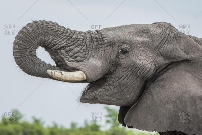 African elephant (Loxodonta africana), portrait while eating, sideways, Close Up, Marabou Pan, Savuti, Chobe National Park, Chobe District, Botswana, Africa