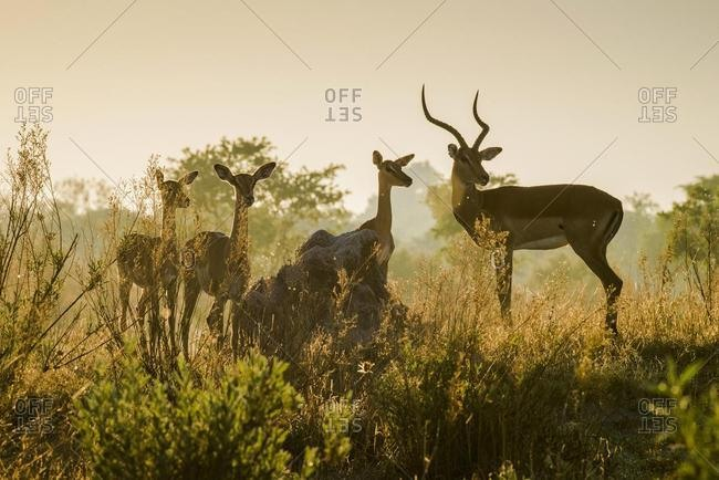 Impalas (Aepyceros melampuss), group with buck and female attentive in the backlight, morning light, Peter's Pan, Savuti, Chobe National Park, Chobe District, Botswana, Africa