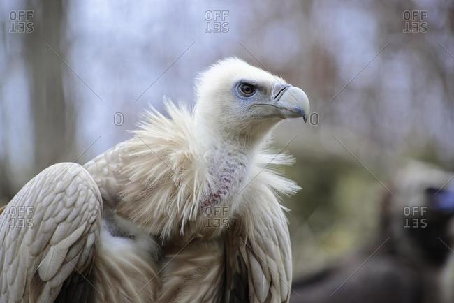 Griffon Vulture (Gyps fulvus), captive, Baden-Wurttemberg, Germany, Europe