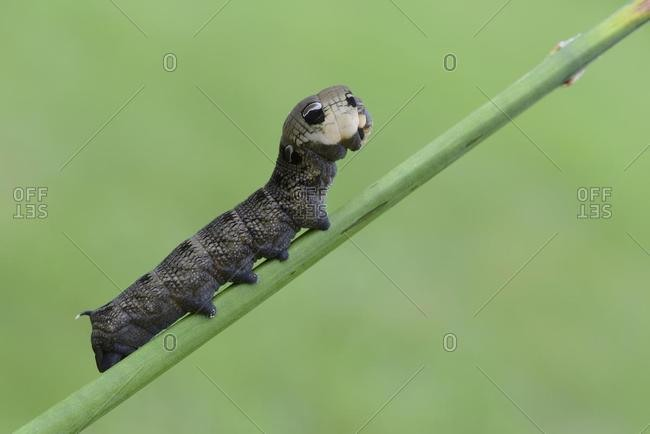 Caterpillar, Elephant Hawk-moth (Deilephila elpenor), Emsland, Lower Saxony, Germany, Europe