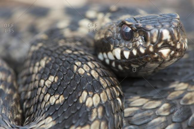 Common Viper (Vipera berus), Emsland, Lower Saxony, Germany, Europe