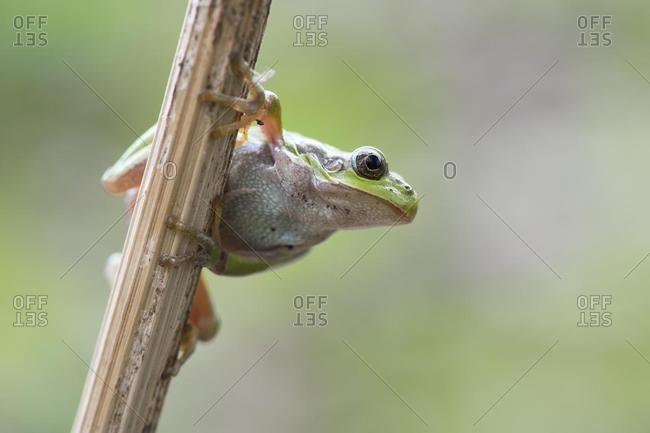 Tree frog (Hyla arborea) on stalk, Rhineland-Palatinate, Germany, Europe