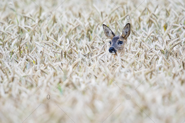 European roe deer (Capreolus capreolus) in corn field, Emsland, Lower Saxony, Germany, Europe