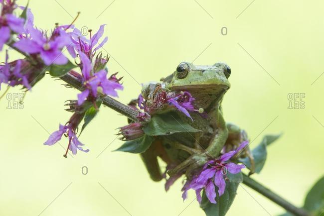 Tree frog (Hyla arborea), sits on Purple loosestrife (Lythrum salicaria), North Rhine-Westphalia