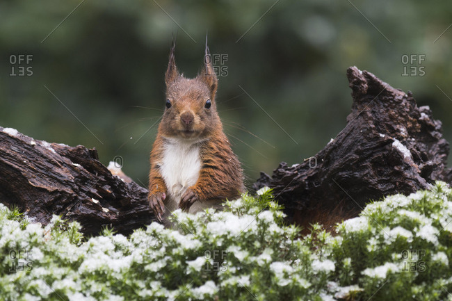 Eurasian red squirrel (Sciurus vulgaris) in winter, Lower Saxony, Germany, Europe