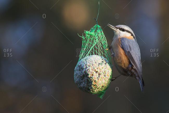 Eurasian nuthatch (Sitta europaea) eats from bird fat ball, Lower Saxony, Germany, Europe