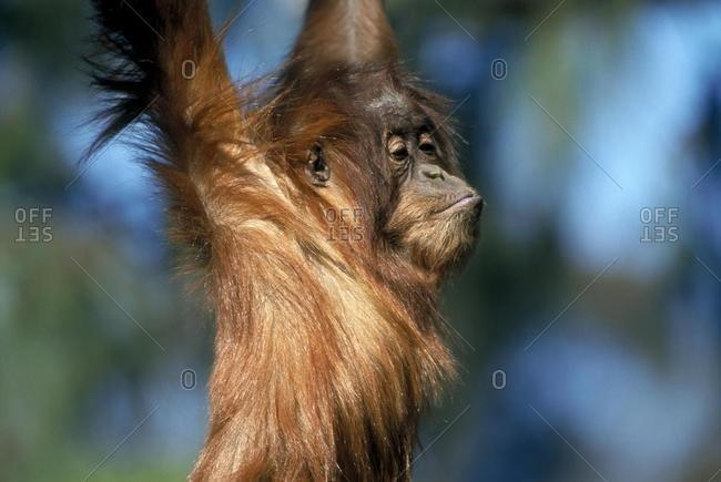 Orang Utan, Pongo Pygmaecus