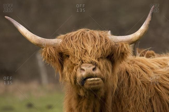 Highland Cattle (Bos)