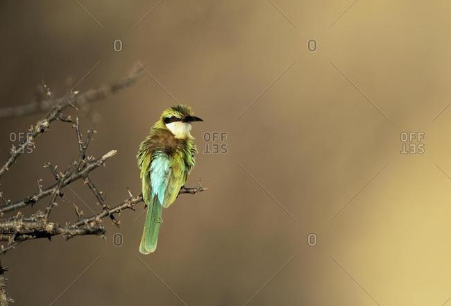 Somali Bee-eater (Merops revoilii), Samburu National Reserve, Kenya, Africa