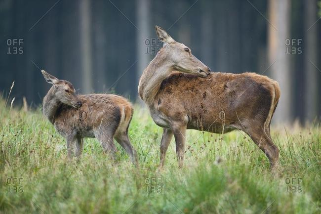 Red deer (Cervus elaphus), fawn and doe, captive, Saxony, Germany, Europe