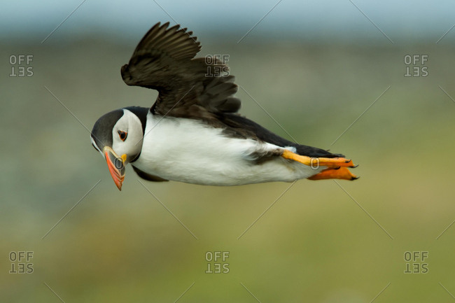 Atlantic Puffin (Fratercula arctica) flying by, Lunga Island, Treshnish Isles, Scotland, UK, Europe