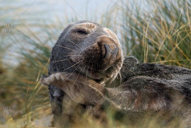 Gray Seal (Halichoerus grypus) on a beach in dune grass, Heligoland, Schleswig-Holstein, Germany, Europe