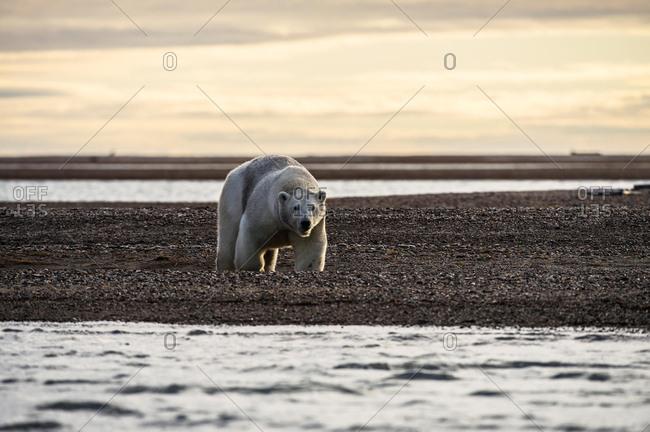 Polar bear (Ursus maritimus), gravel island, Kaktovik, Barter Iceland, Beaufort Sea, Alaska, USA, North America
