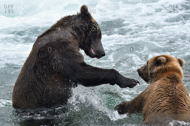 Grizzlies (Ursus arctos horribilis), playing in the water, Brooks River, Katmai, Alaska, USA, North America