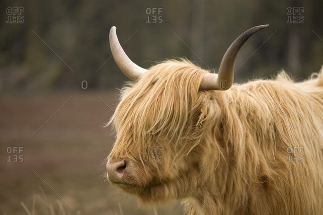 Highland Cattle (Bos taurus) on a pasture, Scotland, United Kingdom, Europe